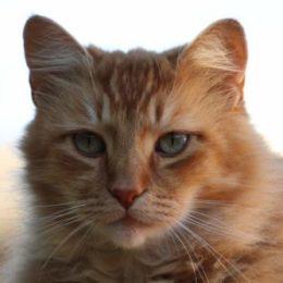 orange cat purring