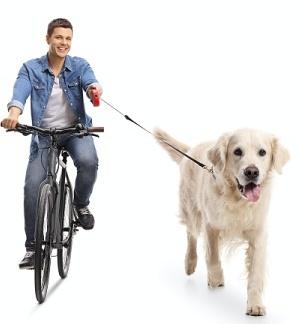 Yellow Labrador Retriever cycling with a young man.