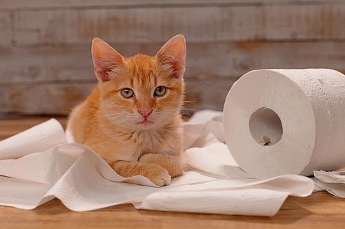 Orange cat with toilet paper