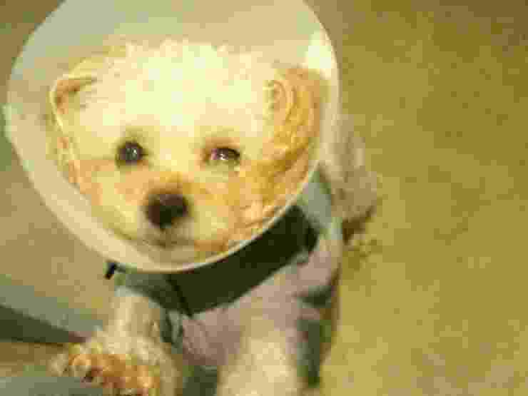 a dog after the surgery wearing e-collar