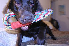 Playing with toy may decrease dogs boredom and howling